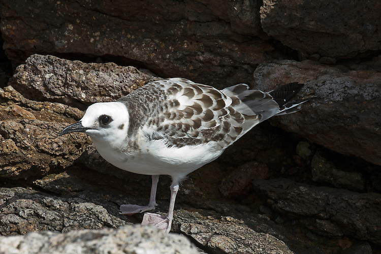 Juvenile Swallow-tailed gull showing off its imature coloring of a white head and chest, flesh-colored legs and feet, dark-rimmed eyes and black beak with back feathers in shades of grey, brown and white against a background of brown lava rock.