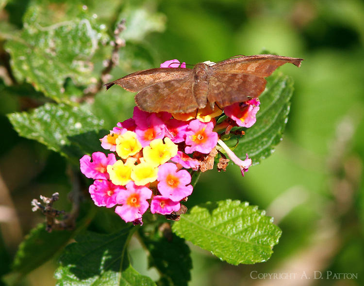 Male falcate metalmark on lantana