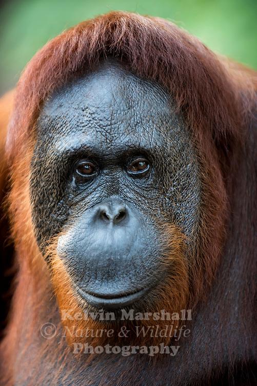"Female ""Siswi"" Orangutan (Pongo pygmaeus) - Tanjung Puting National Park, Central Kalimantan Indonesia."