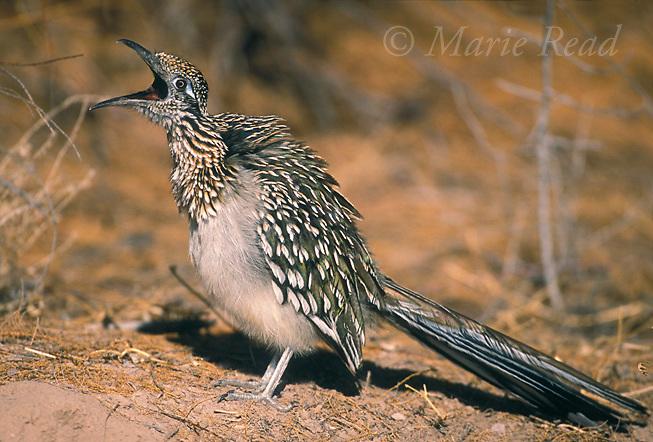 Greater Roadrunner (Geococcyx californianus), yawning, New Mexico, USA.<br /> Slide # B69-147