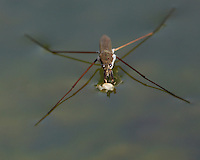 The family Gerridae contains insects commonly known as water striders, water bugs, magic bugs, pond skaters, skaters, skimmers, water scooters, water skaters, water skeeters, water skimmers, water skippers or Jesus bugs.