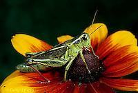 """OR01-041z  Grasshopper - short horned or """"true"""" grasshopper, two-striped grasshopper - Melanoplus bioittatus"""