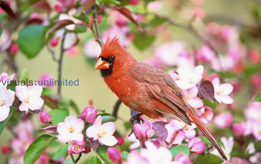 Male Northern Cardinal (Cardinalis cardinalis) in a flowering Wild Plum tree (Prunus americana), Eastern USA.