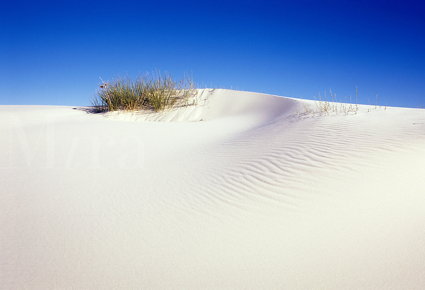 Tuft of grass surviving atop white gypsum sand dune in White Sands National Park, Alamogordo, New Mexico