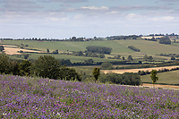 20.7.2020  Field margin in Buckinghamshire <br />  ©Tim Scrivener Photographer 07850 303986<br />      ....Covering Agriculture In The UK.