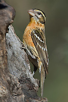 538660017 a wild female black-headed grosbeak pheucticus melanocephalus perches on a dead tree stump in madera canyon green valley arizona united states