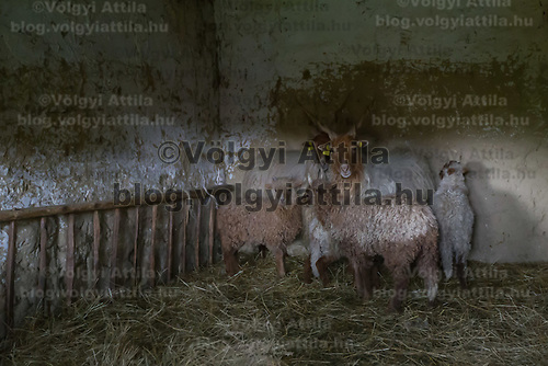 A flock of sheeps is seen in the Skansen open air ethnographic museum in Szenna (about 200 km South-West of capital city Budapest), Hungary on April 14, 2017. ATTILA VOLGYI