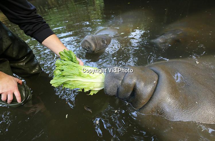 Foto: VidiPhoto..ARNHEM - Mocht iemand zich afvragen waarom de andijvie zo duur is op dit moment, dan is hier het antwoord. De drie enorme Caribische zeekoeien van Burgers' Zoo in Arnhem vreten zich dagelijks strak aan deze Hollandse groente. De enorme lompe waterdieren zijn zelfs de duurste kostgangers van de Arnhemse dierentuin, aangezien hun dagelijkse voedsel voor het overgrote deel uit kroppen andijvie bestaat. De drie zeekoeien eten per dier per dag maar liefst 30 kilo andijvie! Dat betekent dus 90 kilo andijvie per dag voor deze veelvraten, oftewel 630 kilo per week. En dat komt in totaal dan weer op maar liefst 32.760 kilo andijvie per jaar. Zeker als het geen andijvieseizoen is, vormt de aankoop van andijvie een aardige kostenpost. Mede daarom is Burgers' de enige dierentuin in Nederland met deze bijzondere diersoort. De zeekoeien moeten bovendien dagelijks met de hand gevoerd worden. Naast andijvie krijgen ze extra voedsel als wortels en bieten. Op deze manier eten ze gevarieerd en blijven ze gezond..
