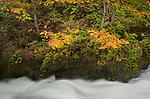Washington, Western, Bellingham. Whatcom Creek flows through autumn colors.