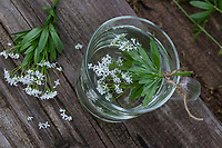 Waldmeister-Tee, Waldmeistertee, Tee aus Waldmeister, Heiltee, Kräutertee, Blütentee, Waldmeister, Wald-Meister, Wohlriechendes Labkraut, Galium odoratum, Sweet Woodruff, sweetscented bedstraw, woodruff, wild baby's breath, herb tea, herbal tea, tea, le Aspérule odorante, Le Gaillet odorant