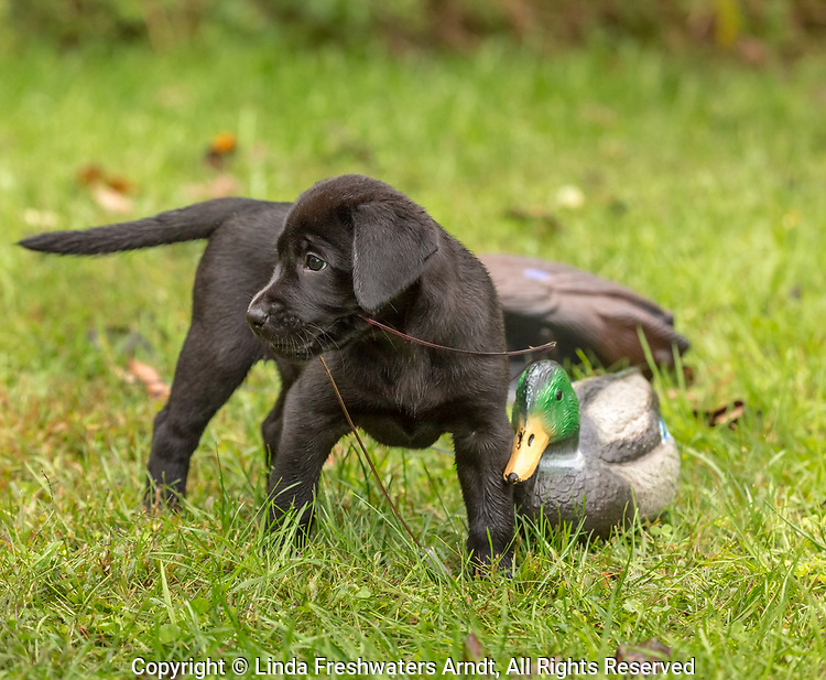 Black Labrador retriever puppy playing with a mallard decoy.