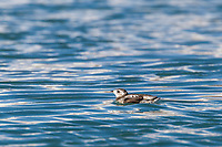 Kittlitz's Murrelet swims in the waters of Nellie Juan Lagoon in Prince William Sound. The bird is listed on the critically endangered species list.