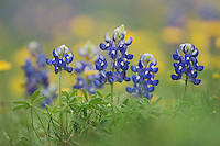Wildflower field with Texas Bluebonnet (Lupinus texensis), Comal County, Hill Country, Texas, USA, March 2007