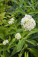 Asclepias incarnata in white flowers Butterfly weed, swamp plant for bog moist garden