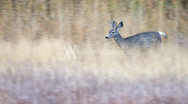 A trio of mule deer grazed and explored in long autumn grasses early one morning.