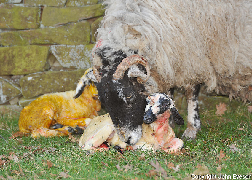 Swaledale ewe with newly born twin lambs, Chipping, Lancashire. Eating afterbirth..Copyright..John Eveson,.Dinkling Green Farm,.Whitewell,.Clitheroe,.Lancashire..BB7 3BN.Tel. 01995 61280.Mobile 07973 482705.j.r.eveson@btinternet.com.www.johneveson.com