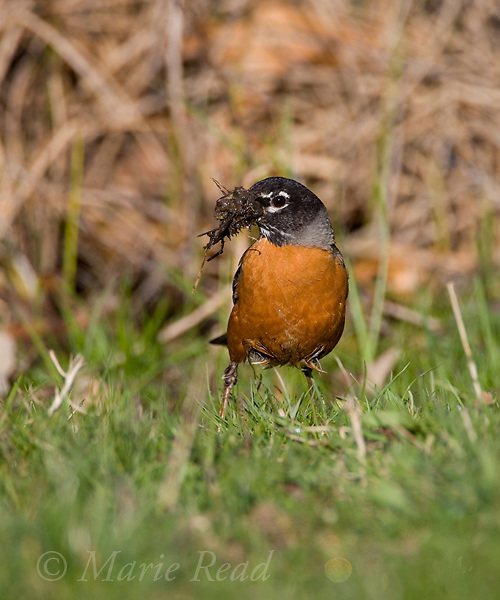 American Robin (Turdus migratorius), female gathering mud and vegetation as nest material, Ithaca, New York USA.