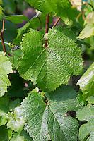 Chardonnay leaves leaf Champagne Francois Seconde, Sillery Grand Cru, Montagne de Reims, Champagne, Marne, Ardennes, France