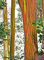 Rainbow Eucalyptus, Maui