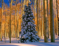 Fir tree in aspens, La Sal Mountains, Utah
