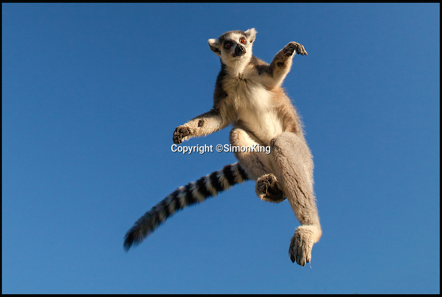 BNPS.co.uk (01202 558833)<br /> Pic: SimonKing/Longleat/BNPS<br /> <br /> ***Longleat Must Be Mentioned in Story***<br /> <br /> Up close and personal...Ring Tailed Lemur.<br /> <br /> Wildlife expert Simon King built a metal cage on to the side of a Land Rover to get up close and personal with deadly big cats at a safari park.<br /> <br /> The TV presenter used the contraption - similar to a shark cage - to safely photograph lions and tigers at Longleat Safari Park from just a few centimetres.<br /> <br /> His pictures are being displayed as part of an exhibition to mark the safari park's 50th anniversary.