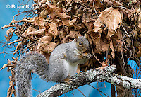 MA23-522z  Gray Squirrel at Nest in the tree branches, Sciurus carolinensis, © Brian Kuhn/Dwight Kuhn Photography