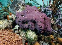 Sponge colony, Exumas, Bahama Islands