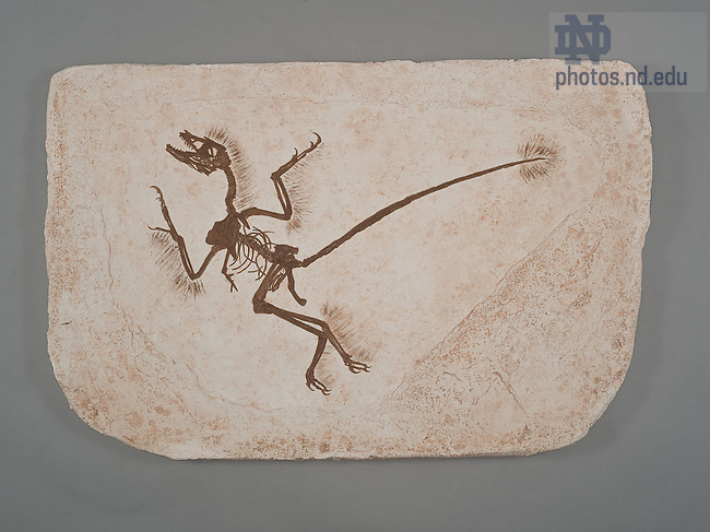 Microraptor Fossil..One of the items in the collection of the Museum of Biodiversity in the Jordan Hall of Science.  For Notre Dame Magazine.