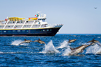 "long-beaked common dolphin, Delphinus capensis, jumping, in front of the Lindblad Expeditions ship ""National Geographic Sea Bird"", Isla San Esteban, Baja California, Mexico, Gulf of California, aka Sea of Cortez, Pacific Ocean"