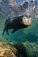 QT0574-D. California Sea Lion (Zalophus californianus), adult male. Baja, Mexico, Sea of Cortez, Pacific Ocean.<br /> Photo Copyright &copy; Brandon Cole. All rights reserved worldwide.  www.brandoncole.com