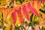 Colorful red, orange, yellow and green leaves of a Chinese pistache tree in autumn, Pistacia chinensis, San Juan Bautista, Calif.