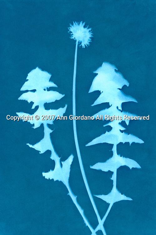 Cyanotype Print of Dandelion and leaves