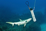 Caribbean reef shark attracted to Lionfish containment unit.