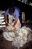 Southern Chile. Shearer shearing a sheep.
