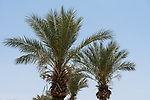 Date palm trees, Phoenix dactylifera, in Qumram National Park in Israel.