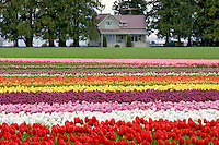 Tulip fields and house. Tulip Town. Mt. Vernon. Washington