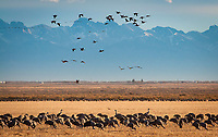 March 21, 2018: With the Sangre de Cristo mountains in the background, sandhill cranes greet the sunrise.  Each spring, as many as 27,000 sandhill cranes migrate through Colorado's San Luis Valley and the Monte Vista National Wildlife Refuge, Monte Vista, Colorado