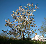 Cherry blossom and pink cottage against blue sky, Island of Sark, Channel Islands, Great Britain