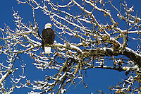 Bald Eagle resting in cottonwood tree along Pacific Northwest river.  Winter.