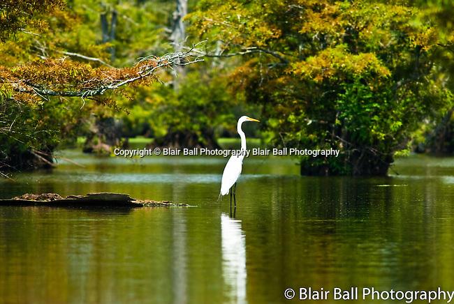 Egret wading in Reelfoot Reel Foot Lake