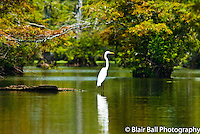 Egret wading in Reelfoot Reel Foot Lake