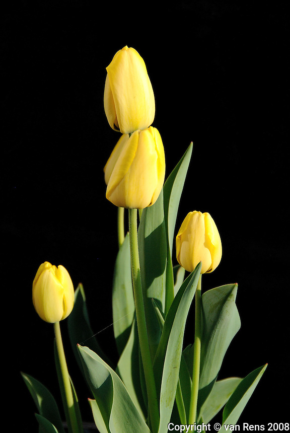 Spring Tulips on black backdrop
