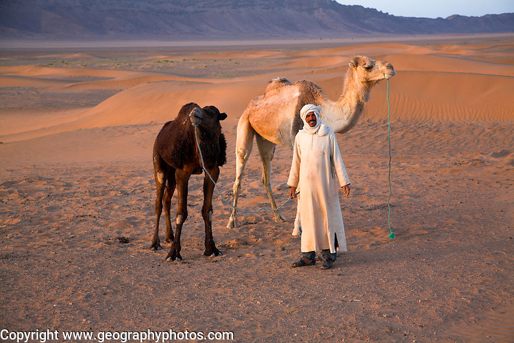 Nomadic camel herder and two camels just after dawn. Sahara desert, near Zagora, Morocco, north Africa