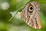 La Guacima de Alajuela, Costa Rica; an Owl Butterfly (Caligo eurilochus) hangs suspended upside down, wings folded, from a leaf , Copyright © Matthew Meier, matthewmeierphoto.com All Rights Reserved