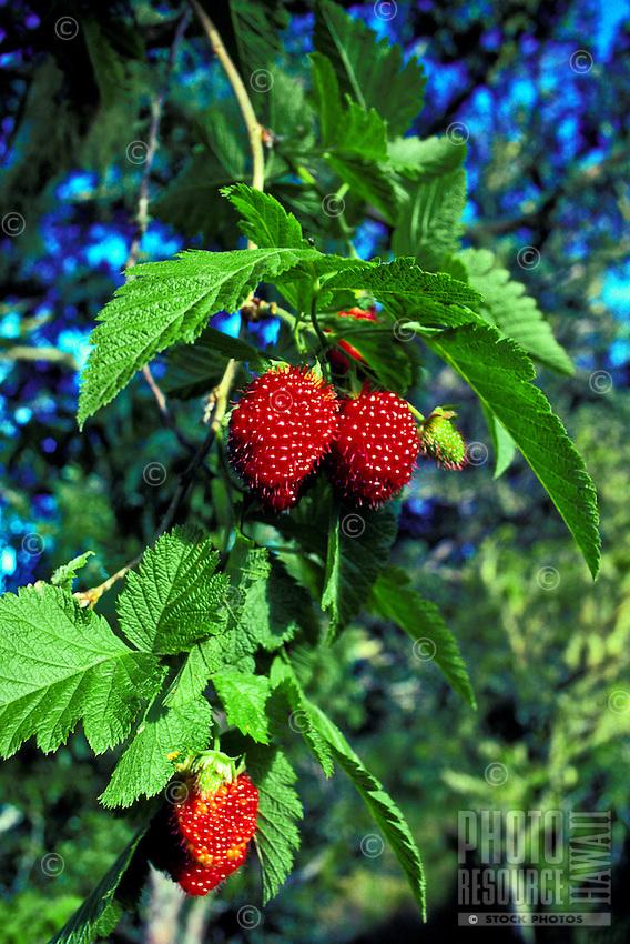 Akala berries, (rubus hawaiiensis) off saddle road on the big island.