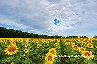 63801-11107 Sunflowers in field Jasper Co.  IL