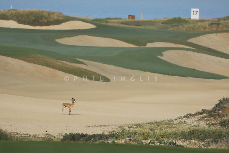 Gazelle in bunker on 16th hole during the first round of the Fatima Bint Mubarak Ladies Open played at Saadiyat Beach Golf Club, Abu Dhabi, UAE. 10/01/2019<br /> Picture: Golffile | Phil Inglis<br /> <br /> All photo usage must carry mandatory copyright credit (© Golffile | Phil Inglis)