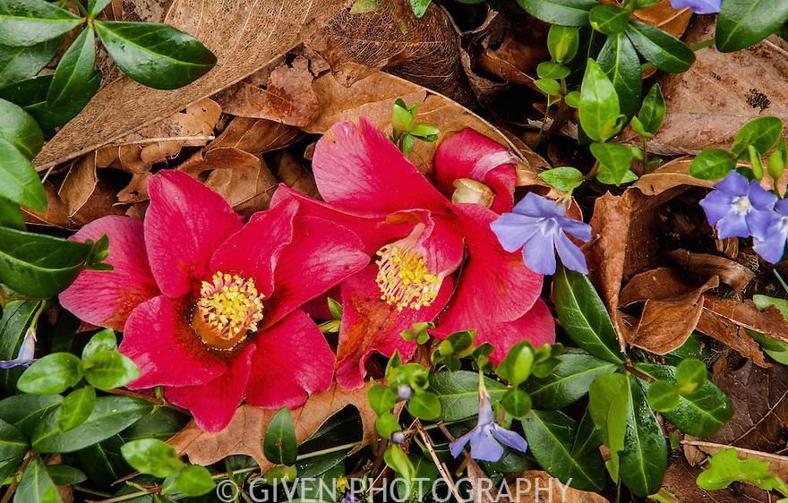 Camellia blossums