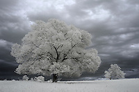 Summer trees photograph in infrared stand in front of a darkened sky in Albemarle County, VA. Photo/Andrew Shurtleff