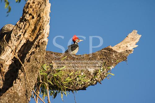 Parana, Brazil. Red crested woodpecker. Mata Atlantica forest.